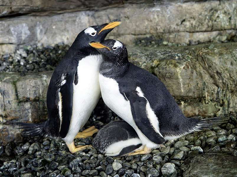 Same-sex penguin couple become parents as adorable chick hatches from adopted egg